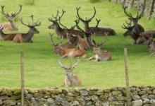 deer-in-field